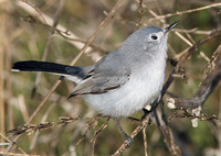 : Polioptila caerulea; Blue-gray Gnatcatcher