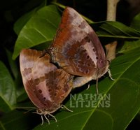 : Arhopala micale; Shining Oak Blue