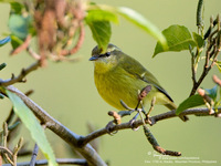 Mountain Leaf-Warbler Scientific name - Phylloscopus trivirgatus benguetensis
