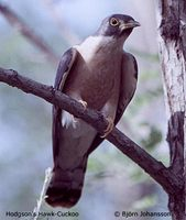 Northern Hawk Cuckoo » Cuculus hyperythrus