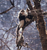 Black snub-nosed monkey (Rhinopithecus bieti)