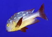 Macolor macularis, Midnight snapper: fisheries, gamefish