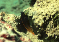 Ecsenius bicolor, Bicolor blenny: aquarium