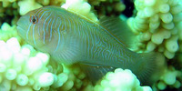 Gobiodon rivulatus, Rippled coralgoby: aquarium