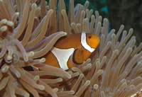 Amphiprion ocellaris - Clown Anemonefish
