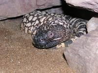 Heloderma horridum - Beaded Lizard