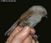 Streak-throated Fulvetta - Alcippe cinereiceps