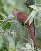 Squirrel Cuckoo (Piaya cayana) photo