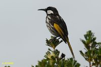 White-cheeked Honeyeater - Phylidonyris nigra