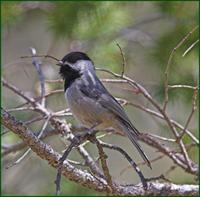 Mexican Chickadee in the Chiricahua Mountains