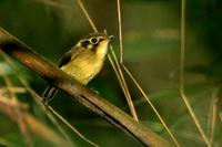White-throated  spadebill   -   Platyrinchus  mystaceus   -