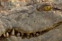 close up of a grinning nile crocodile stock photo