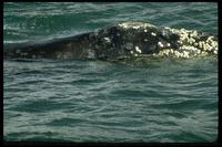 North Pacific Right Whale (Eubalaena japonica) photo