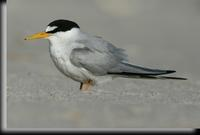 Least Tern, Jones Beach, NY