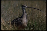 : Numenius americanus; Long-billed Curlew