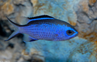 : Chromis cyaneus; Blue Chromis