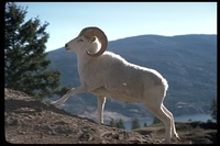 : Ovis dalli; Dall Sheep
