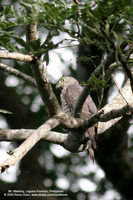 Grey-faced Buzzard Scientific name - Butastur indicus
