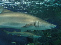 Carcharias taurus, Sand tiger shark: fisheries, gamefish
