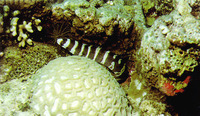 Gymnothorax rueppellii, Banded moray: