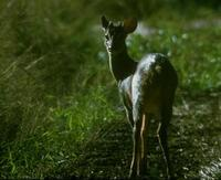 Image of: Mazama americana (red brocket)