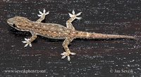 Hemidactylus frenatus - House Gecko