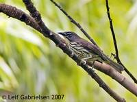 Luzon Striped Babbler - Stachyris striata