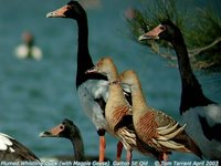 Plumed Whistling-Duck - Dendrocygna eytoni