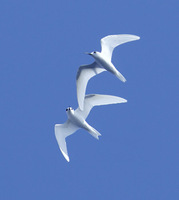 Common White-Tern (Gygis alba) photo