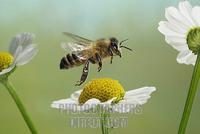 Western honey bee ( Apis mellifera ) stock photo