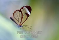 Brush footed butterfly ( Greta oto ) stock photo
