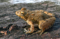 : Acris crepitans crepitans; Northern Cricket Frog