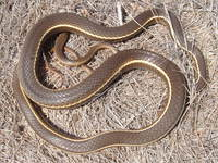 : Masticophis lateralis; California Striped Whipsnake