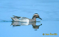 Photo of Anas querquedula Knäkente Garganey čírka modrá