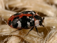 Anthrenus scrophulariae - Carpet Beetle
