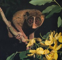 photo of slender loris