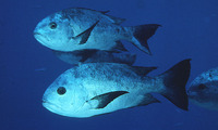 Macolor niger, Black and white snapper: fisheries, gamefish