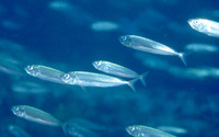 Trachurus picturatus, Blue jack mackerel: fisheries