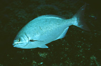 Kyphosus sectator, Bermuda sea chub: fisheries, gamefish, aquarium