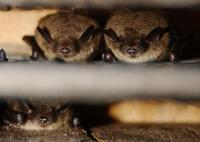 Image of: Myotis lucifugus (little brown bat)