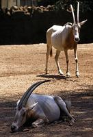Image of: Oryx dammah (scimitar-horned oryx)