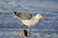 Larus cachinnans - Yellow-legged Gull
