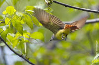 Image of: Myiarchus crinitus (great crested flycatcher)