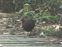 Crimson-headed Partridge - Haematortyx sanguiniceps