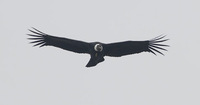 Andean Condor (Vultur gryphus) photo