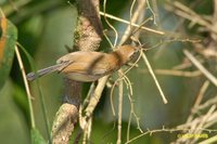 Long-billed Gnatwren - Ramphocaenus melanurus