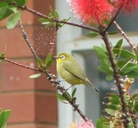 Cape White-eye - Zosterops pallidus