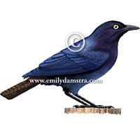 Copper-tailed Glossy-Starling Lamprotornis cupreocauda