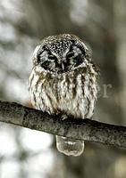 올빼미 [Korean wood owl]