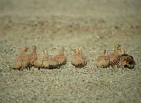 Spotted Sandgrouse (Pterocles senegallus)